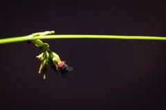 Vlieggreep op het groene blad, macroschot Stock Afbeelding
