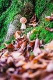 Vliegplaatzwam bevlekte giftige paddestoelen in het hout Stock Foto's