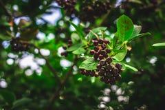 vlierbes Close-upmening van natte vlierbes\ 's bos over groene bladeren De herfst bosbes na regen, zachte nadruk Stock Foto's