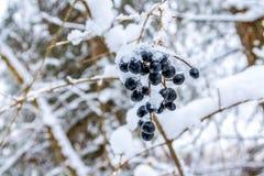 Vlierbes in de winter Stock Afbeelding