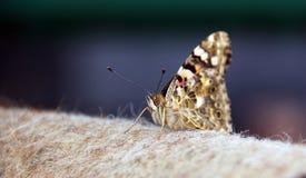 Vlinder Royalty-vrije Stock Foto