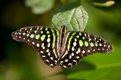 Vlinder Royalty-vrije Stock Foto's