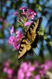 Vlinder 2 van de monarch royalty-vrije stock foto