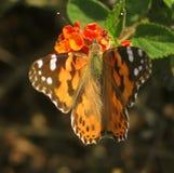 Vlinder 3 Stock Foto