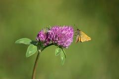 Vlinder. Stock Afbeeldingen