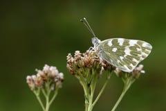 Vlinder. Stock Afbeelding