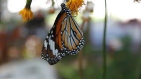 Vlinder stock videobeelden