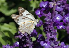 Vlinder. Royalty-vrije Stock Afbeelding