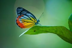 Vlinder Stock Foto
