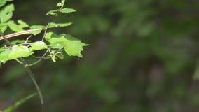 Vlinder stock footage