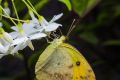 Vlinder Royalty-vrije Stock Afbeeldingen