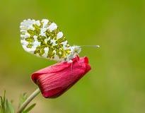 Vlinder in aard Stock Foto