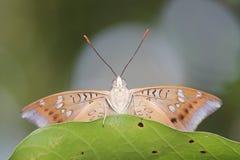 Vlinder achter blad Royalty-vrije Stock Foto