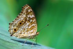 Vlinder achtergrondstijl Royalty-vrije Stock Foto