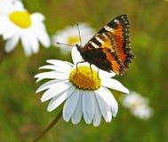 Vlinder & kamille Stock Foto