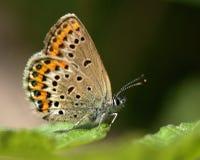 Vlinder Argus 1 Royalty-vrije Stock Afbeeldingen