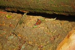 Vlinder, atalanta Royalty-vrije Stock Foto