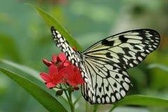 Vlinder bij de Bloei Royalty-vrije Stock Foto