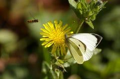 Vlinder, bij, gele bloem Royalty-vrije Stock Fotografie