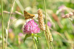 Vlinder bij purpere wilde bloem wordt neergestreken die Royalty-vrije Stock Foto's