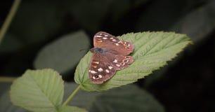 Vlinder Blauw-zandoogje een猜错tussen Dalfsen en兹沃勒上艾瑟尔省 免版税库存图片