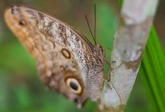Vlinder - Blauwe Morpho- Morpho peleides Royalty-vrije Stock Afbeelding
