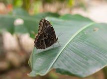 Vlinder - Blauwe Morpho- Morpho peleides Stock Foto's