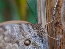 Vlinder - Blauwe Morpho- Morpho peleides Royalty-vrije Stock Foto's