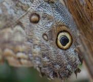 Vlinder - Blauwe Morpho- Morpho peleides Stock Foto