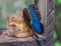 Vlinder - Blauwe Morpho- Morpho peleides Royalty-vrije Stock Afbeeldingen