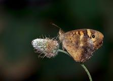 Vlinder in bloem stock afbeeldingen