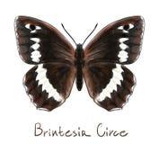 Vlinder Brintesia Circe. Stock Afbeeldingen