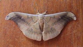 Vlinder bruine kleur Royalty-vrije Stock Foto