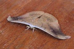 Vlinder bruine kleur Stock Foto's