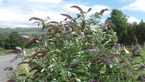 Vlinder Bush (Buddleia) in de wind stock videobeelden