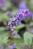 Vlinder Bush - Lo & Behold - Blauw Chip Jr Royalty-vrije Stock Afbeeldingen