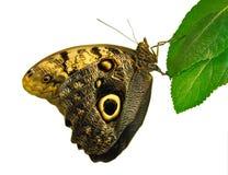 Vlinder (Caligo memnon). royalty-vrije stock foto's