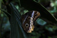 Vlinder - Caligo Memnon Royalty-vrije Stock Fotografie