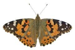 Vlinder (cardui van Vanessa) 12 Stock Foto