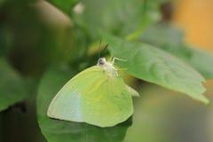 Vlinder, Catopsilia-pomona Stock Afbeelding