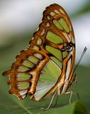 Vlinder clos-omhoog Royalty-vrije Stock Foto's