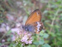Vlinder` Coenonympha arcania L ` Stock Afbeelding