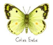 Vlinder Colias Erate. Stock Foto