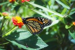 Vlinder Costa Rica stock afbeelding