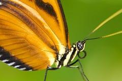 Vlinder datail stock foto