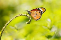 Vlinder de gemeenschappelijke van de Tijger (genutia Danaus) royalty-vrije stock afbeelding