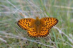 Vlinder die de donkergroene van Fritillary (Argynnis-aglaja) op Gra rusten Royalty-vrije Stock Foto's