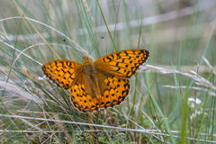 Vlinder die de donkergroene van Fritillary (Argynnis-aglaja) op Gra zonnebaden Stock Foto