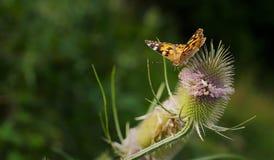 Vlinder die de nectar van een bloem drinken stock foto