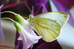Vlinder die een bloem bestuift Stock Afbeeldingen